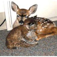 59872 Мужчина спас от лесного пожара олененка и малыша-рысь