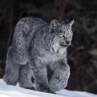 60363 Потрясающие снимки канадских рысей в дикой природе