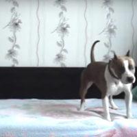 62006 Этот хитрый пес дождался пока хозяйка уйдет из дому и «оторвался» по полной