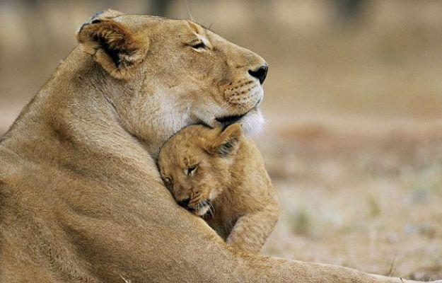 61786 Мамы — такие мамы… Умиляющие фотографии мам животных с их детенышами
