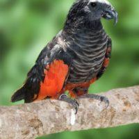 62055 Орлиный попугай — птица, которая пугает и завораживает одновременно