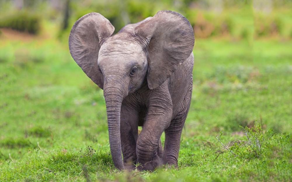 61949 Слониха привела своего новорожденного малыша к людям, которые когда-то спасли ей жизнь
