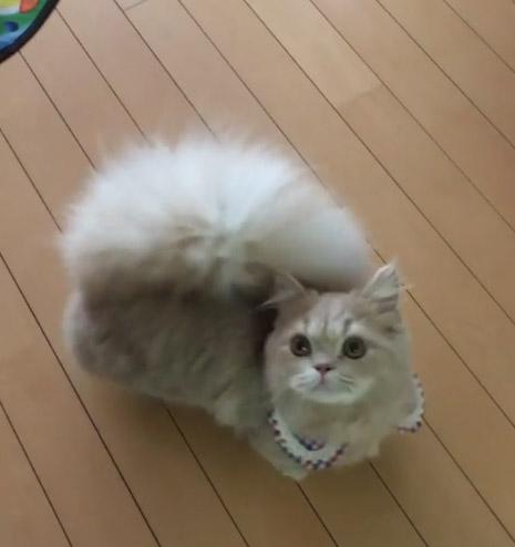 62684 Кошечка Белль имеет самый шикарный хвост, почти как у белки