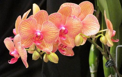 62628 Раньше считалось, что орхидея — сильный женский талисман. Так ли это?