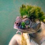 62824 Уникальная Черепаха Реки Мэри
