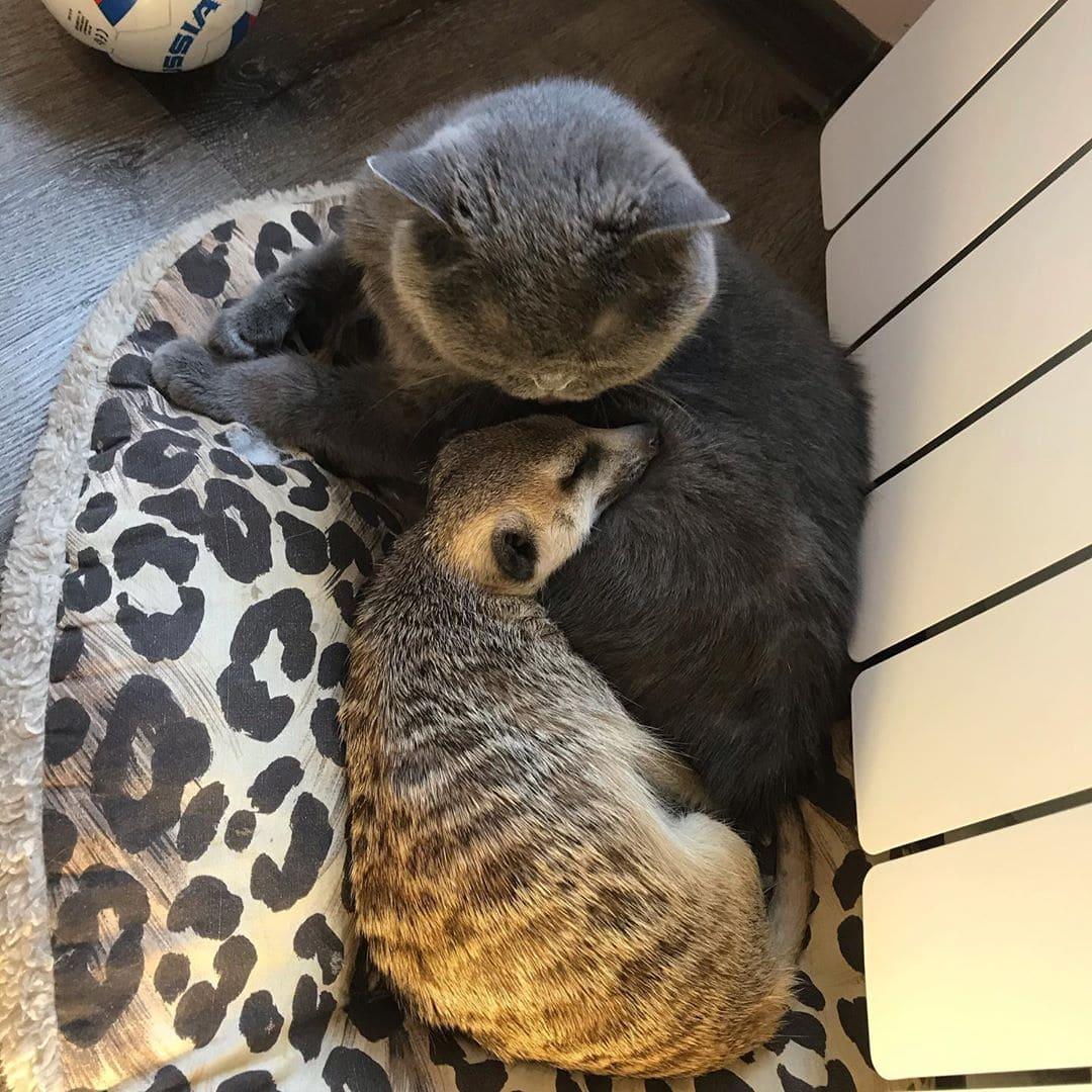 63689 Сурикат, которого забрали из контактного зоопарка теперь живет в доме и дружит с котом