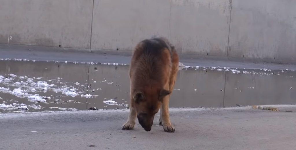 64081 Мужчина подошел к голодной и истощенной собаке, когда он положил руку ей на голову, пес заплакал