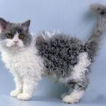 64123 Удивительные кудрявые коты очаровали всех пользователей Сети