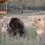 65137 Необычная дружба: медведь, лев и тигр неразлучны уже более 15 лет!