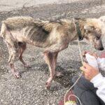 66434 Волонтеры выходили пса породы хаски, который 2 года сидел на цепи. Посмотрите в какого красавца он превратился!
