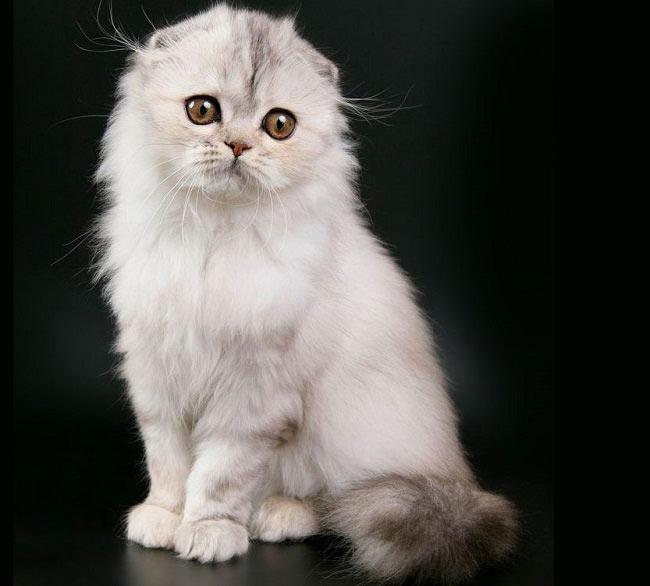 66762 Котята породы хайленд-фолд, что может быть милее? Очаруйтесь вместе с нами
