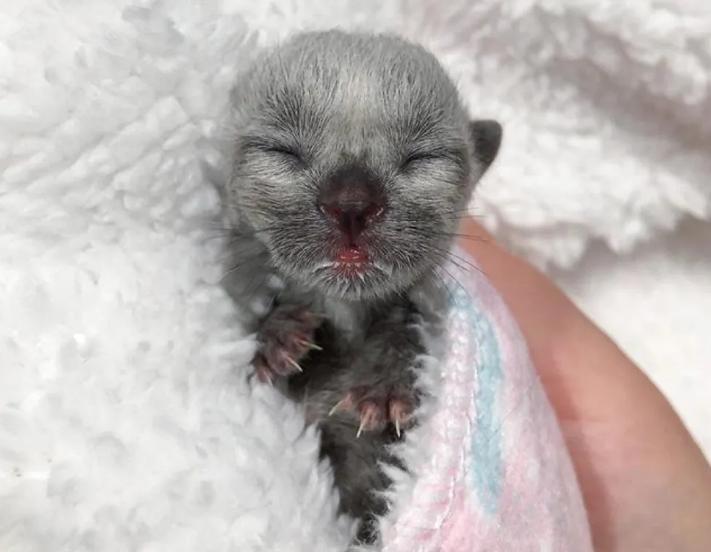 66816 Девушка нашла котенка с необычным окрасом и взялась выхаживать его вместе со своей кошкой