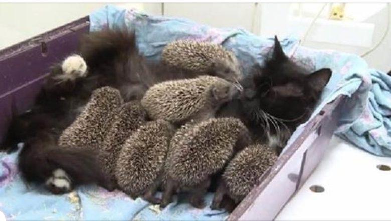 66861 Добрая мамочка: кошка Муся усыновила восьмерых ежат-сирот